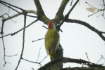 Eurasian Green Woodpecker/Picus viridis - Photographer: Николай Петров